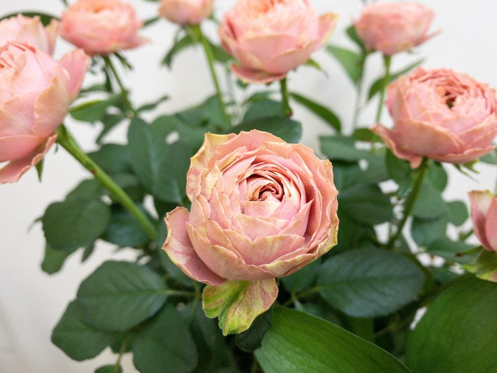ピンクラナンキュラス バラ(薔薇)