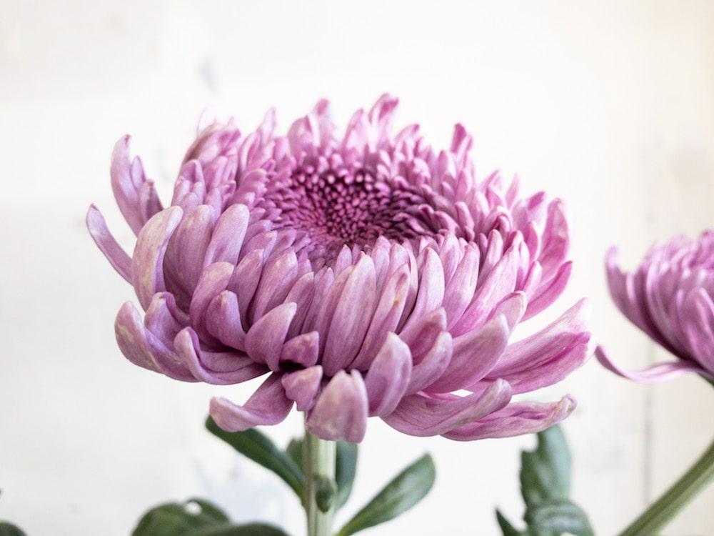 パヴェーノダーク 菊