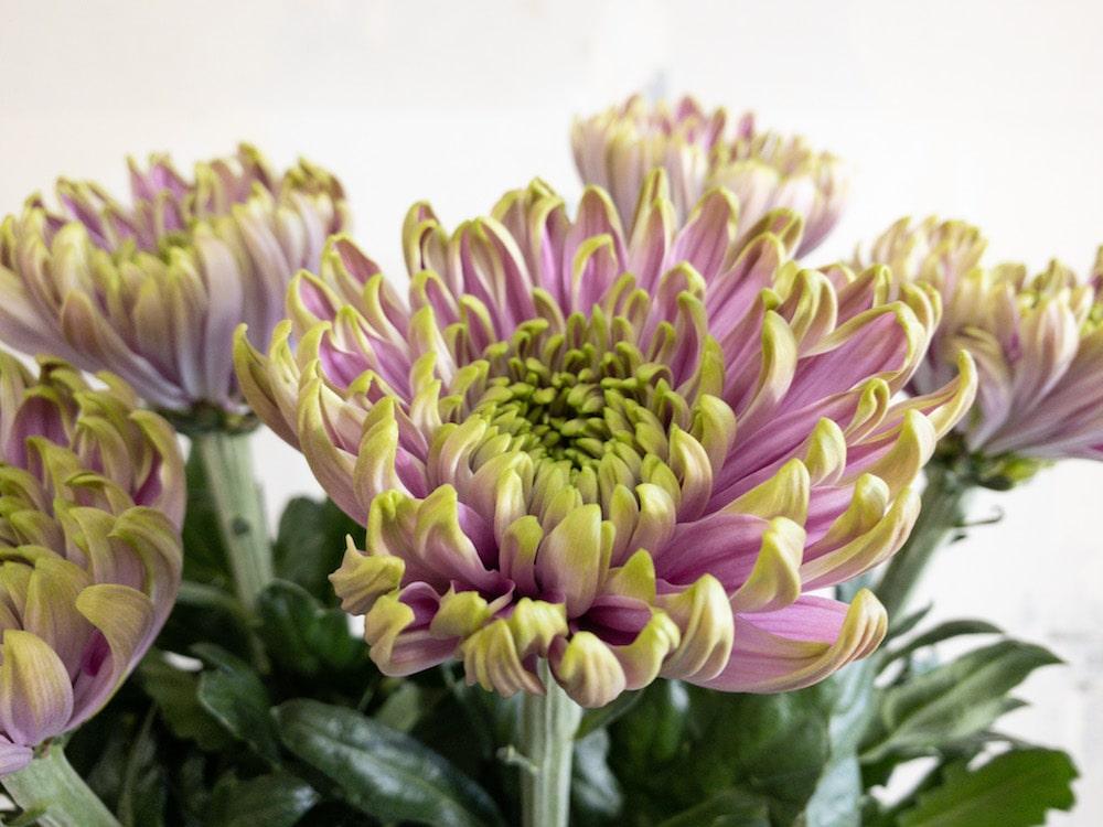 ロサーノシャルロッテダーク 菊