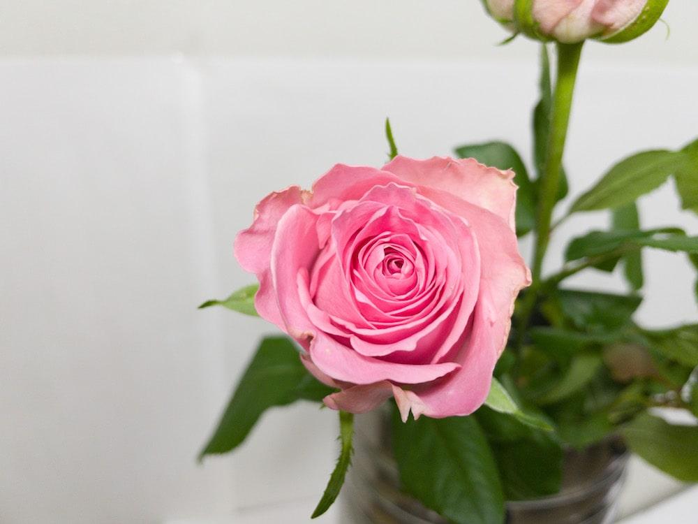 ブッロサムピンク バラ