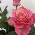 アーリエス+ バラ 薔薇